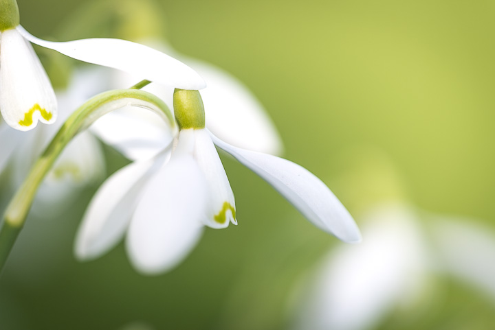 Snowdrops - Holton, Somerset, UK. ID 809_0818