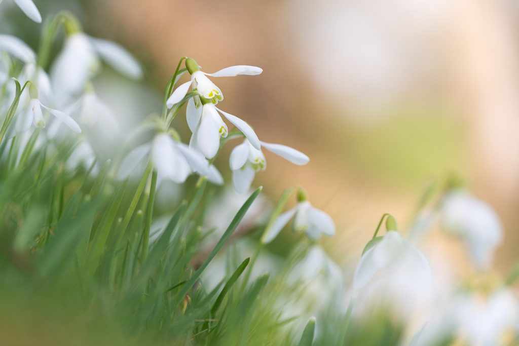 Snowdrops - Holton, Somerset, UK. ID 809_0834