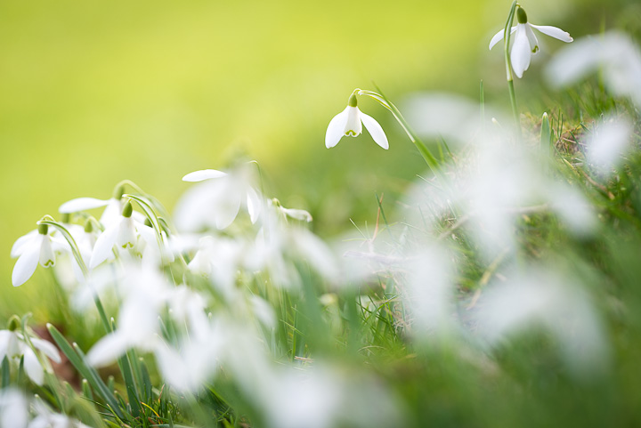 Snowdrops - Holton, Somerset, UK. ID 809_0845