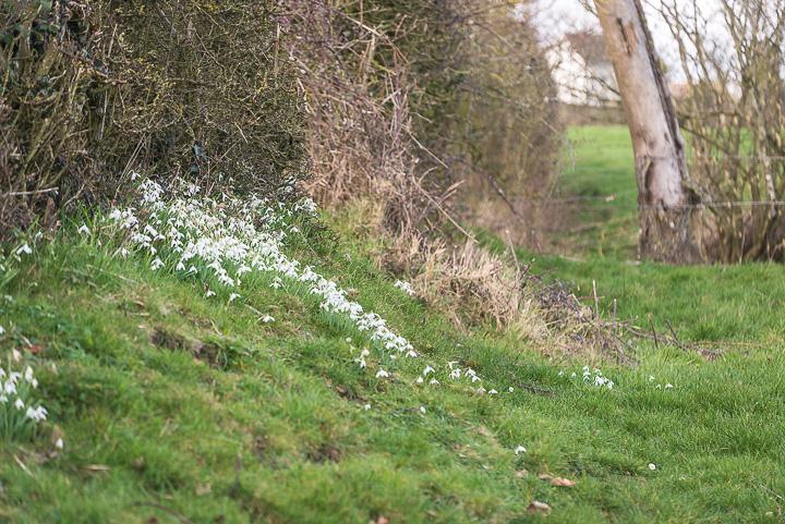 Snowdrop Hedgerow