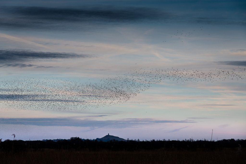 Starlings Flock - Shapwick Heath, Somerset, UK. ID 809_0887