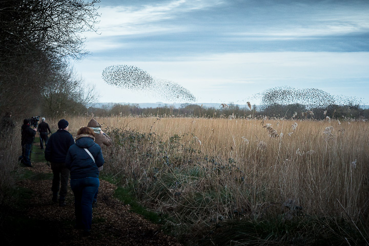 Starlings Flock - Shapwick Heath, Somerset, UK. ID 809_1077