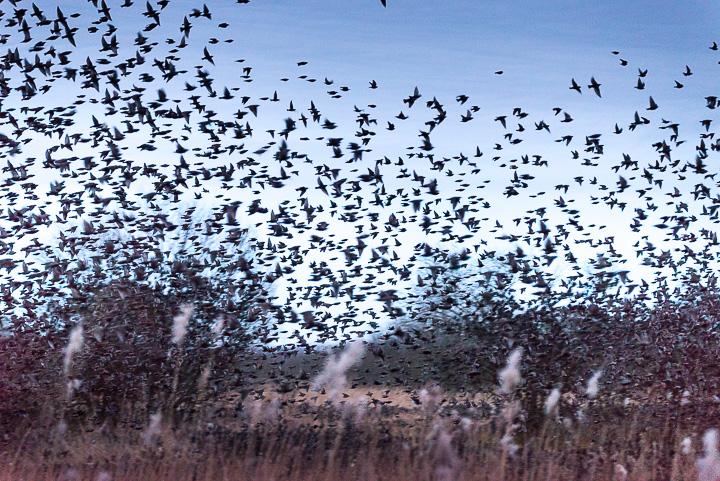 Starlings Flock - Shapwick Heath, Somerset, UK. ID 809_198