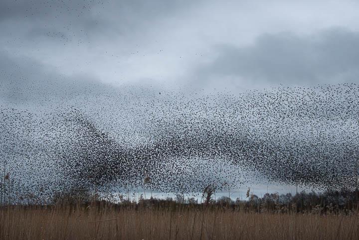 Starlings Flock - Shapwick Heath, Somerset, UK. ID 809_9883