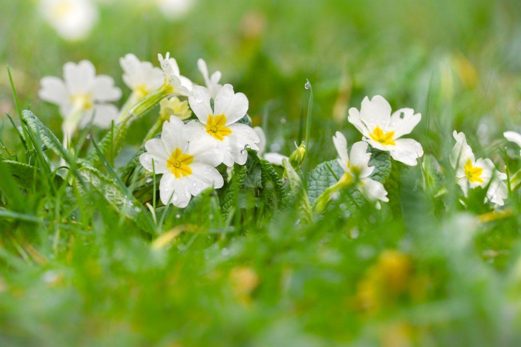 Churchyard Flowers - Bratton Seymour, Somerset, UK. ID 810_1467