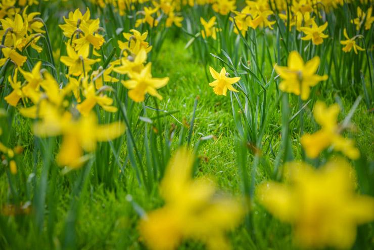 Daffodil Verge - Westfield, Somerset, UK. ID 810_1521