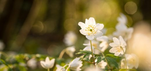 Wood Anemones - Park Wood, Wells, Somerset, UK.