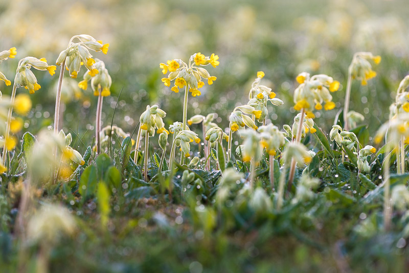 Cowslips - Cannards Grave Roundabout, Shepton Mallet, Somerset, UK. ID 804_2891