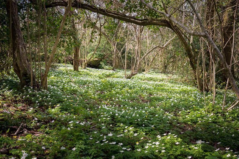 Wood Anemones - Park Wood, Somerset, UK. ID 810_3577