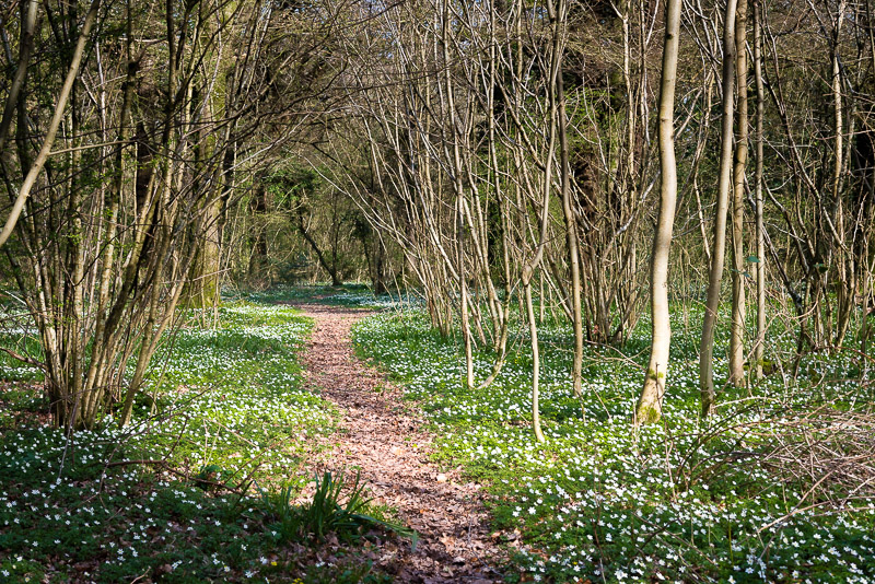 Wood Anemones - Park Wood, Somerset, UK. ID 810_3766