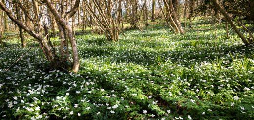Wood Anemones - Park Wood, Somerset, UK. ID 810_3868
