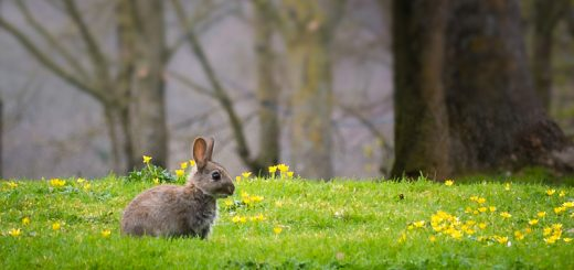 Rabbits - Wookey Hole, Somerset, UK. ID 810_4861
