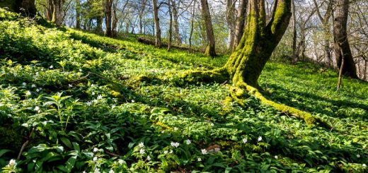Round Wood - Near Wells, Somerset, UK. ID 810_5363