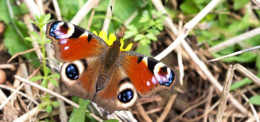 Peacock butterfly (Inachis io) - Lynchcombe, Somerset, UK.