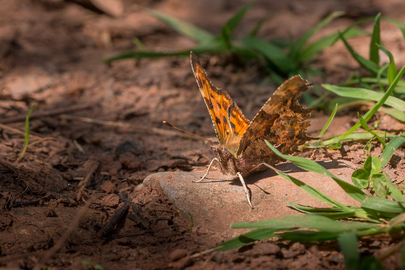 Comma (Polygonia c-album) - Lynchcombe, Somerset, UK. ID 810_5800