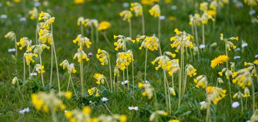 Cowslips - Shepton Mallet, Somerset, UK. ID 810_6109