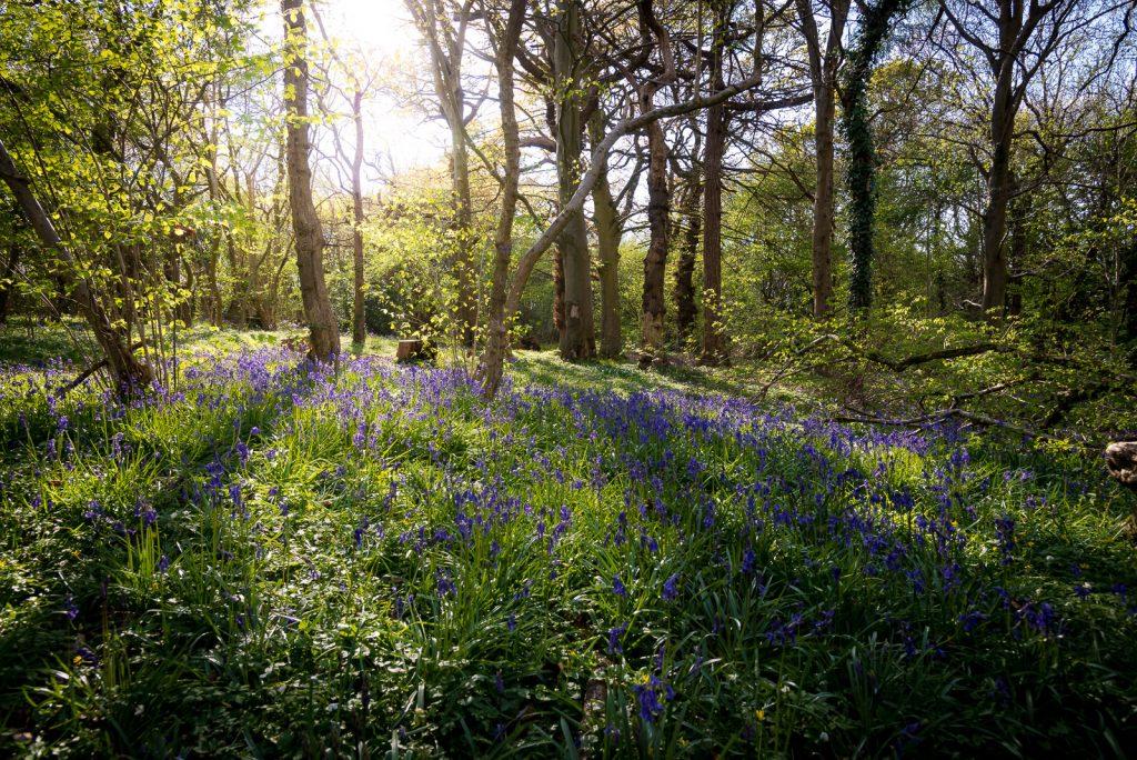 Bluebells - Park Wood, Somerset, UK. ID 810_6172