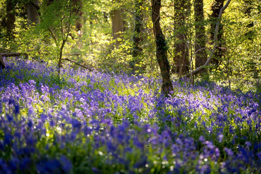 Bluebells - Park Wood, Somerset, UK. ID 810_6247