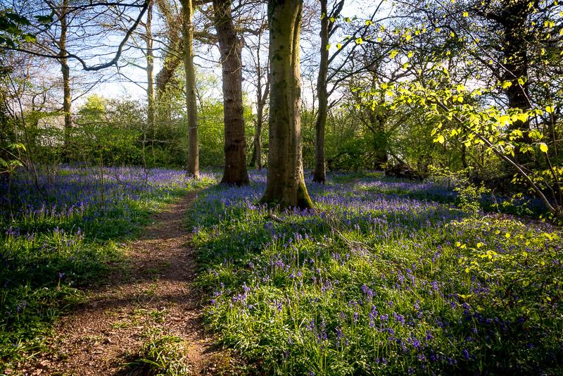 Bluebells - Park Wood, Somerset, UK. ID 810_6358