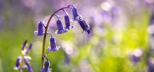Bluebells of Park Wood - Nr Wells, Somerset, UK. ID 810_7544