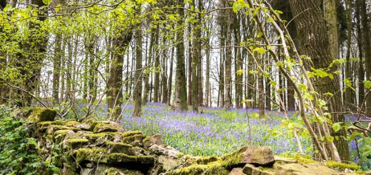 Bluebells in the Gorse Plantation - Wells, Somerset, UK. ID 810_8004