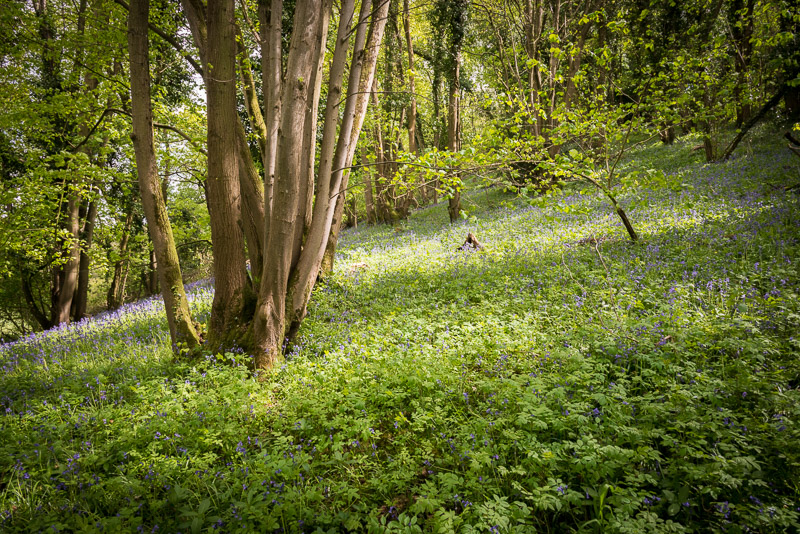Swell Wood - Somerest, UK, ID 810_8199