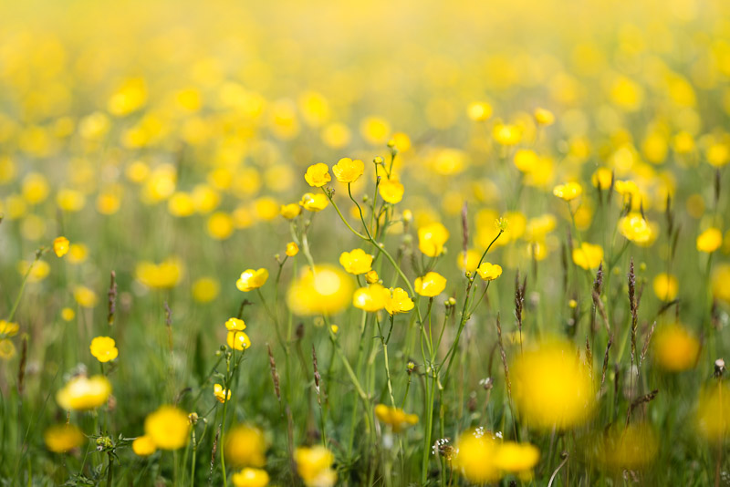 Buttercups - Perry Mead, Somerset, UK. ID 821_0222