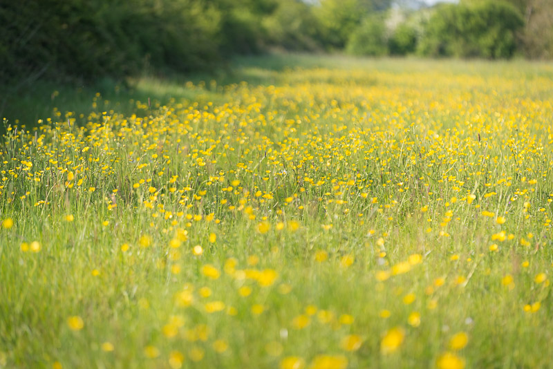 Buttercups - Perry Mead, Somerset, UK. ID 821_0292