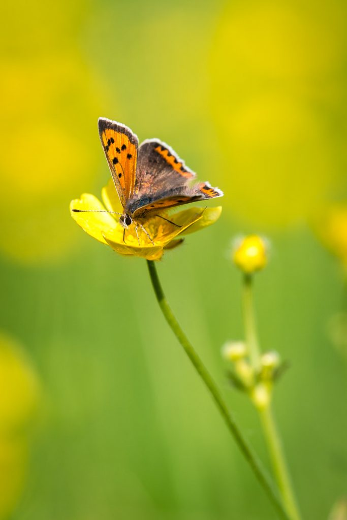 Small Copper (Lycaena phlaeas) - Perry Mead, Somerset, UK. ID 821_0320