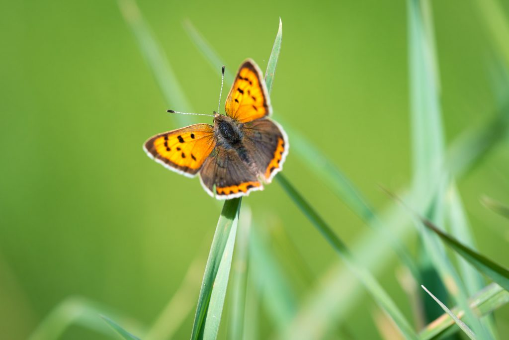 Small Copper (Lycaena phlaeas) - Perry Mead, Somerset, UK. ID 821_0345