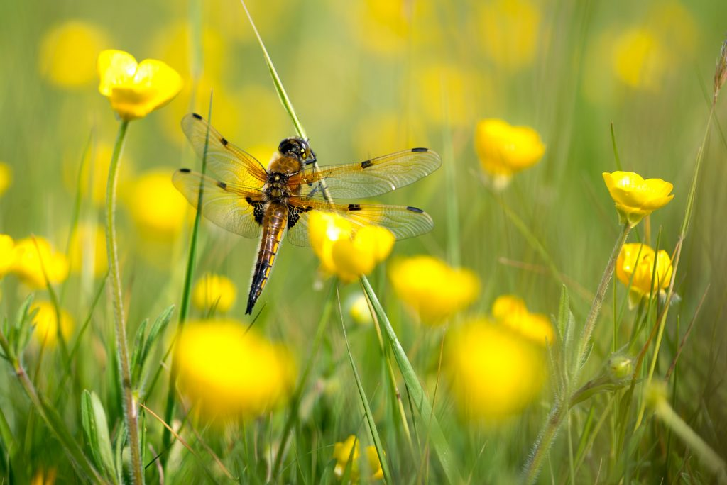 Four-spotted chaser (Libellula quadrimaculata) - Perry Mead, Somerset, UK. ID 821_0366