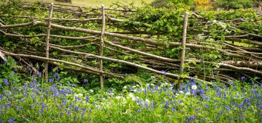 Spring Hedge Laying - Lots Grassland, Somerset, UK. ID 821_0590