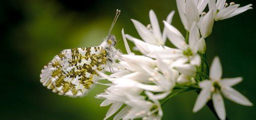Orange-tip butterfly (Anthocharis cardamines) - Black Rock, Somerset, UK. ID 821_1084