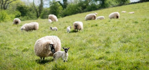 Mother and Lamb - Lynchcombe, Somerset, UK. ID 821_1520