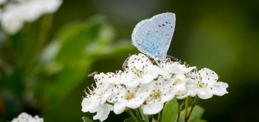 Holly blue (Celastrina argiolus) - Lynchcombe, Somerset, UK. ID 821_9416