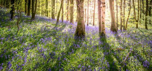 Bluebells - Longwood, Somerset, UK. ID 821_9861