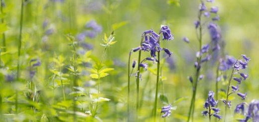 Bluebell Meadow - West Horrington, Somerset, UK. ID 822_0005