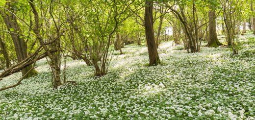 Wild Garlic - Milton Wood, Somerset, UK. ID JBA_8649