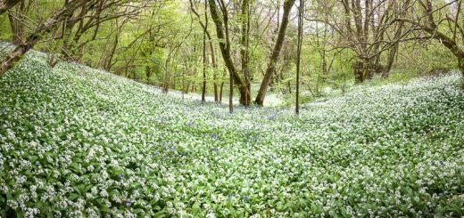 Kings Wood - Somerset, UK. ID kingswood