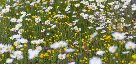 Oxeye Daisies - Anchor Hill, Wincanton, Somerset, UK. ID 822_0165