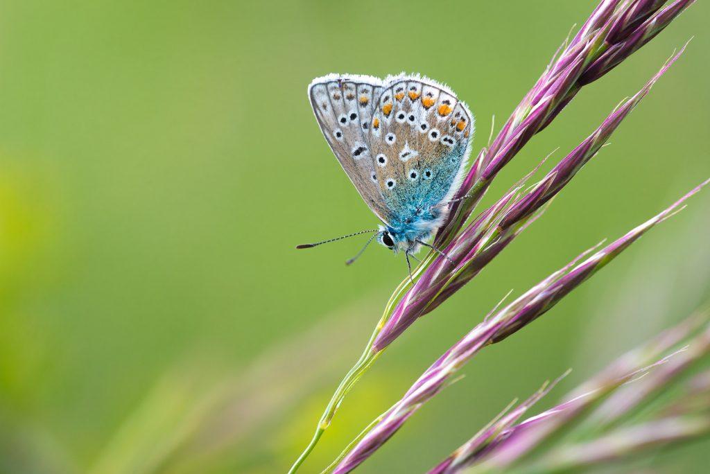 Common Blue (Polyommatus icarus) - Stoke Camp, Somerset, UK. ID 822_1275