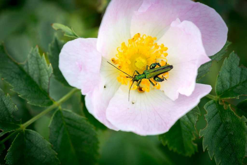 Swollen-thighed beetle (Oedemera nobilis) on Dog Rose (Rosa canina) - South Hill, Somerton, Somerset, UK. ID 822_1457
