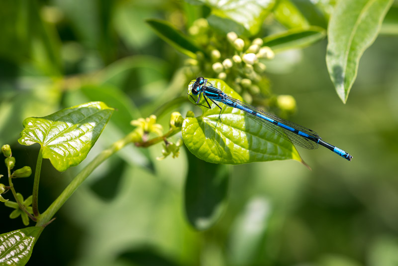 Azure Damselfly (Coenagrion puella) - South Hill, Somerton, Somerset, UK. ID 822_1758