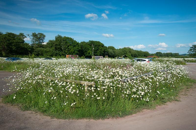 Oxeye Daisies - Ham Wall, Somerset, UK. ID 822_2453