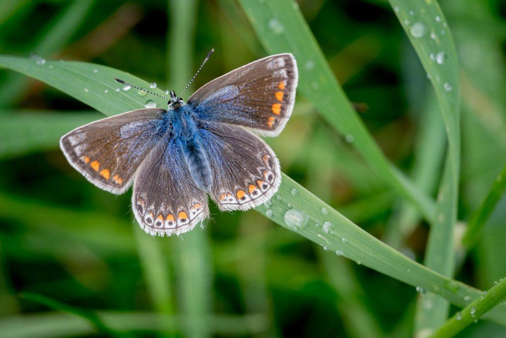 Common Blue (Polyommatus icarus) - Stoke Camp, Somerset, UK. ID 822_2626