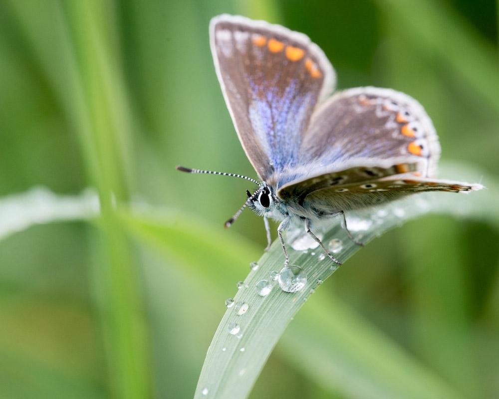Common Blue (Polyommatus icarus) - Stoke Camp, Somerset, UK. ID 822_2652