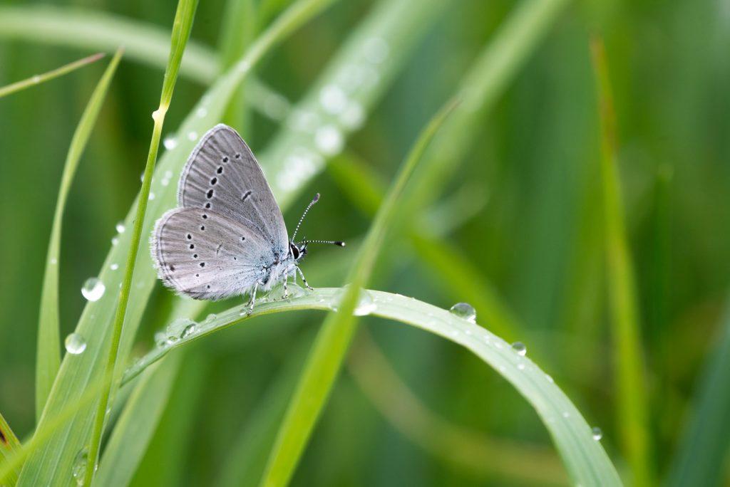 Small Blue (Cupido minimus) - Stoke Camp, Somerset, UK. ID 822_2663