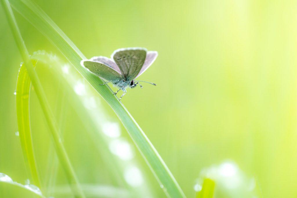 Small Blue (Cupido minimus) - Stoke Camp, Somerset, UK. ID 822_2803