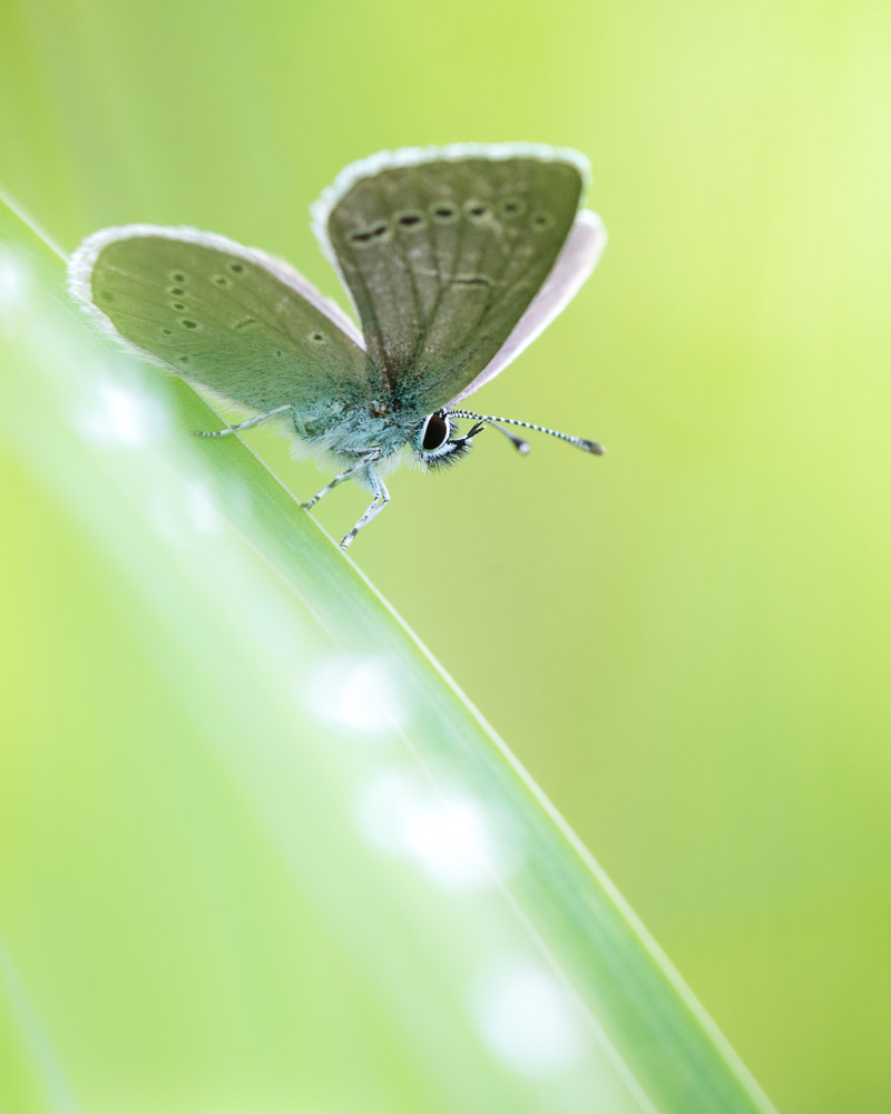 Small Blue (Cupido minimus) - Stoke Camp, Somerset, UK. ID 822_2812