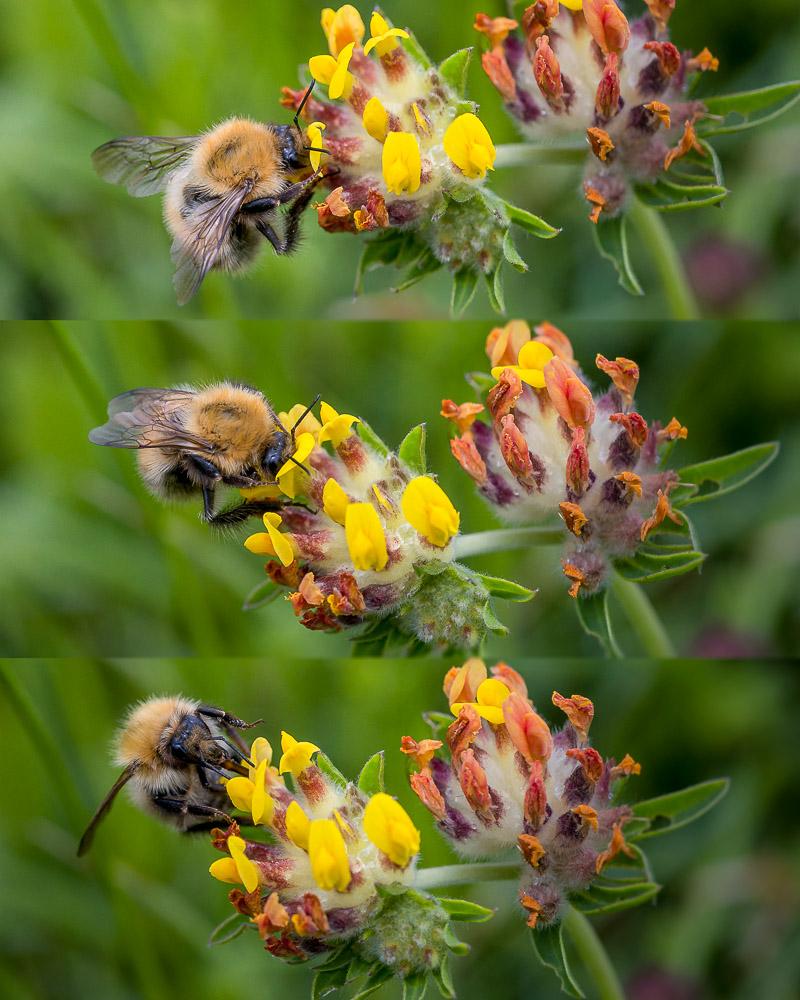 Bumbe Bee on Kidney Vetch (Anthyllis vulneraria) - Stoke Camp, Somerset, UK. ID 822_3018M